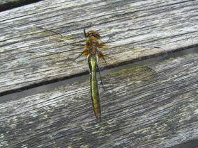 smaragdlibel gezien in Bakkeveen