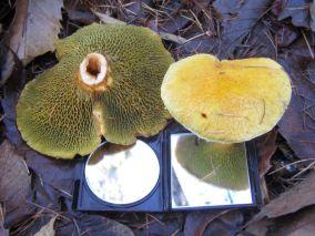 Zeer zeldzame paddenstoelen gevonden in Bakkeveen.